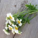 Fleurs, herbes, plantes médicinales
